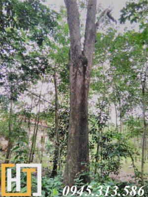 cây gỗ hương