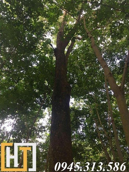 cây gỗ hương ta