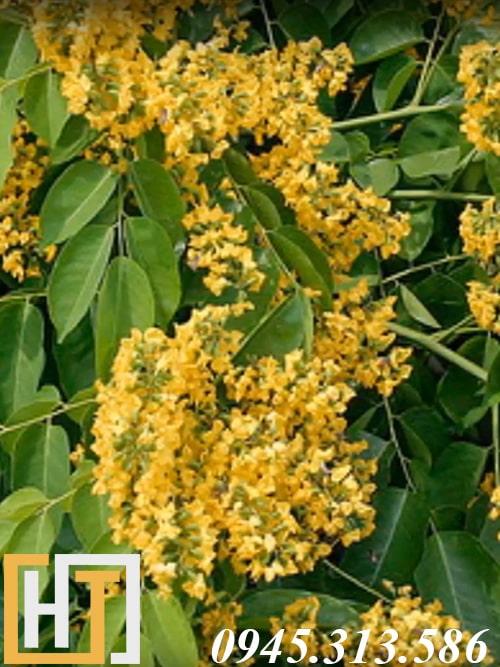 hoa cây gỗ hương