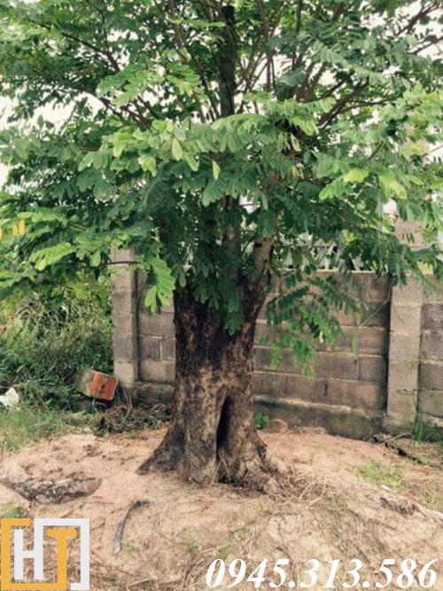 cây gỗ cẩm lai