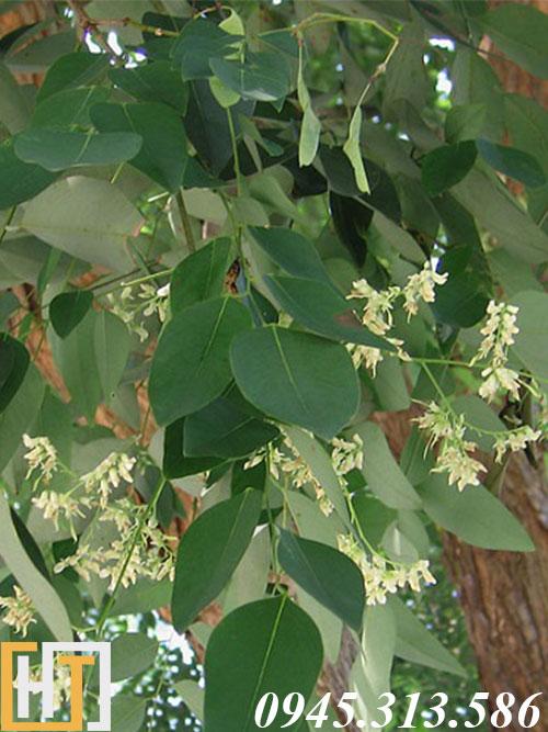 hoa gỗ cẩm lai