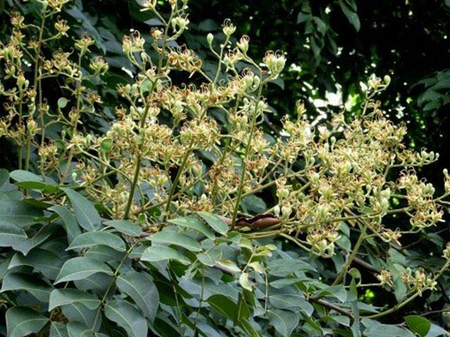 hoa gỗ gụ