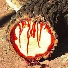 nhựa cây huyết long